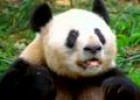 Sneezing Panda | Recurso educativo 4575