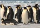 Emperor Penguins in Antarctica | Recurso educativo 85447